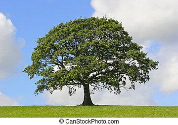 Oak tree in full leaf standing alone in a field in summer against a blue sky with cumulus clouds.