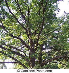 Oak Tree - the top part of an oak tree