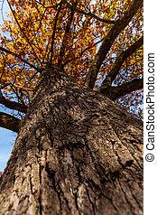 Oak tree trunk - Autumn oak tree trunk against blue sky
