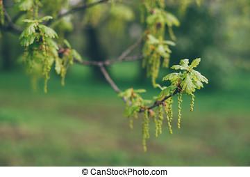 Oak tree twig with fresh spring leaves