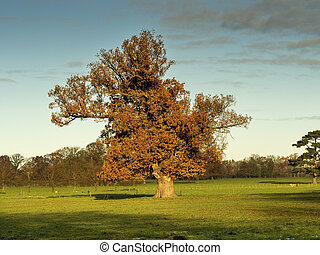 Oak tree with autumn foliage in a Yorkshire park, England