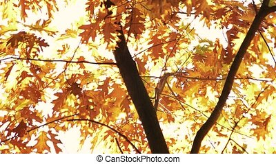 Oak tree with golden autumn leaves. Tree against white sky...