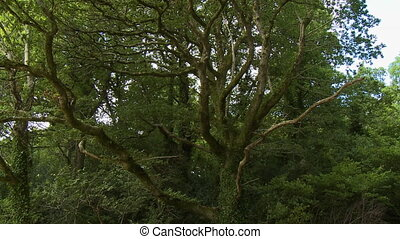 Oak Tree With Spindly Limbs - Handheld, tilting down, medium...