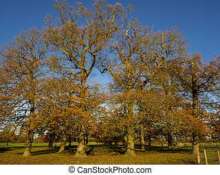 Oak trees in a park with late autumn foliage, North Yorkshire, England