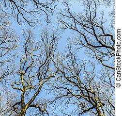 oak trees in spring under blue clear