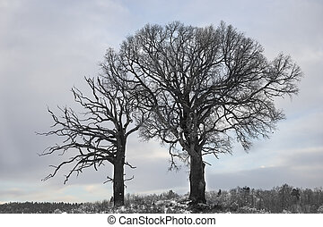 Oak trees in winter - Bare oak trees in Scandinavian winter ...
