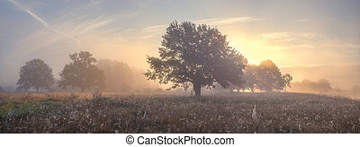 Oak trees on meadow in foggy morning