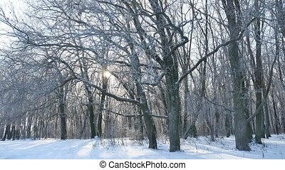oak winter forest trees in the snow nature landscape...