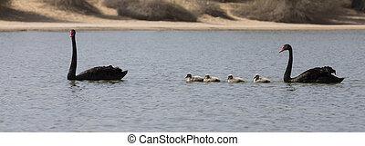 oasi, nero, bambini, paio, cigni, deserto, nuoto