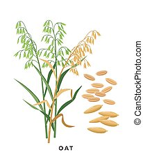 Oat cereal grass and grains - vector botanical illustration ...
