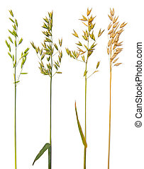 Oat collection with maturing grains