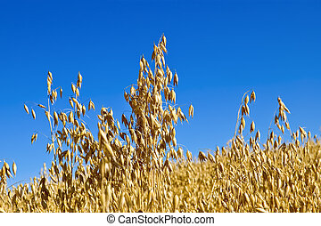 Oat field against the sky