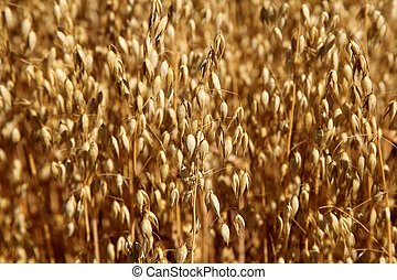 Oat field as natural background