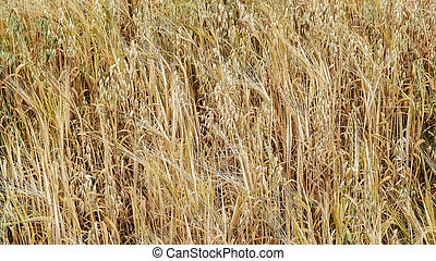 Oat field as nature background.