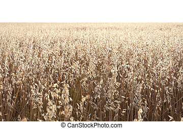 Oat field at daybreak in an agrarian landscape in Ciudad Real Province, Spain