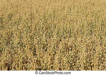Oat Field Background