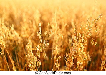 Golden ears of oat on the field.