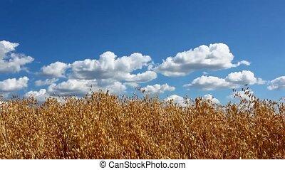 Oat field - Yellow oat field against blue sky