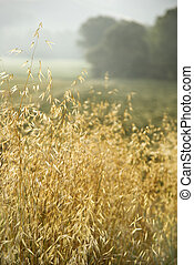 Oat plants, Tuscany, Italy. - Oat plants growing in field in...