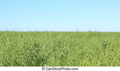 Oat seeding green field. farm of agriculture