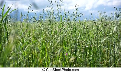 oat., vent, fond, nuages, oreilles, orage, champ vert, trembler