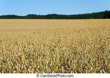 Oats Field Horizontal