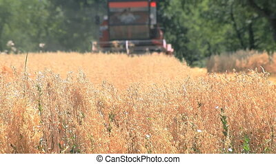 Oats Harvesting - Harvesting Oat in the Field