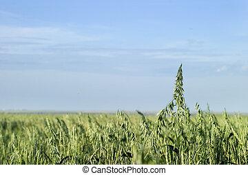 Prairie landscape of an oat field.