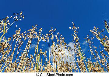 Oats on Blue Sky