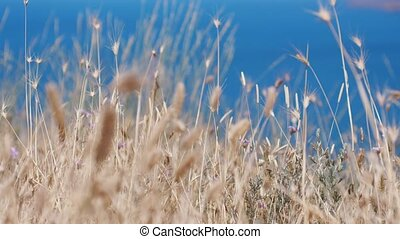 Oats spikelets on the background of the blue sea in Crimea....