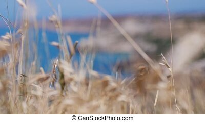 Oats spikelets on the background of the blue sea on Cape of...