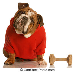 obedience training - english bulldog in red sweater with dog...