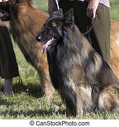 Belgian shepherd - Obedient Belgian shepherd is sitting on ...
