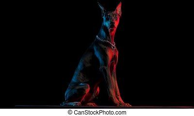 Obedient dog Doberman Pinscher breed sits in the studio on a black background in red and blue light. The dog rolls his head around in slow motion. Close up