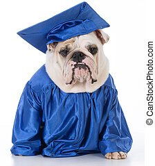 dog wearing graduate gown