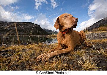 obedient golden colour vizsla dog outdoors
