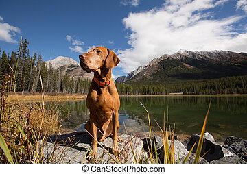 obedient golden colour vizsla dog sitting by a mountain lake