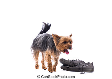 Obedient little Yorkshire terrier
