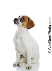 Obedient terrier dog puppy sitting and waiting in front of white background.