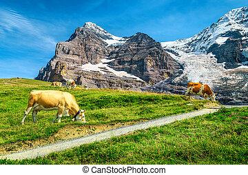 oberland, gregge, mucche, bernese, svizzera, grindelwald, pascolo, alpino