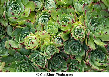 oberseite, bekannt, immergrün, pflanze, gruppe, sempervivum, ansicht, rockery, houseleek, groundcover
