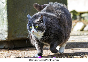 Obese walk - Obese pussy cat on the move in the garden in ...