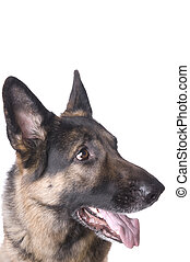 German shepherd closeup