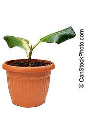 house rubber plant