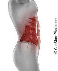 oblicuo, aislado, anatomía, externo, hombre del músculo