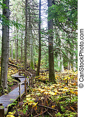 obr, kolumbie, cedrové dřevo, hora, britský, boardwalk,...