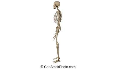 obracający, samiec, szkielet