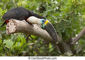 obrazný, sedění, (ramphastos, strom, toco), jungle., toucan, les, filiálka, nebo