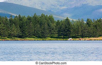 obsada, jezioro, zlatibor
