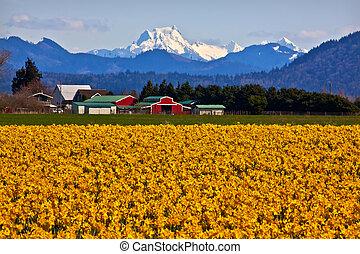 obsada, shuksan, czerwony, zagroda, builiding, żółty, żonkile, kwiaty, śnieg, góra, skagit dolina, waszyngton państwowy, pacyfik northwest